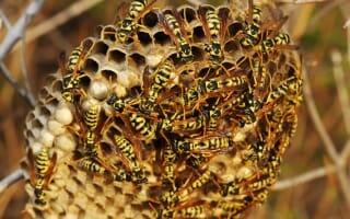 Destruction nids de guêpes et frelons Bas-Rhin