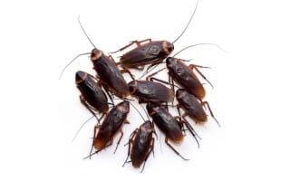 Désinsectisation des Cafards & blattes à Colmar