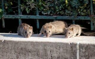 Dératisation des rats & souris à Marseille