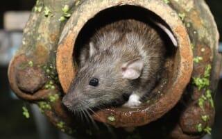 Dératisation des Rats & Souris à Strasbourg