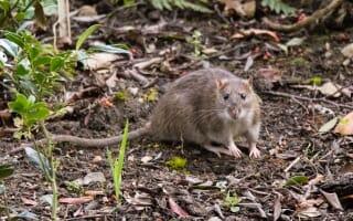 Dératisation à Aix-en-Provence : Rats et Souris