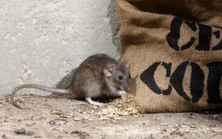 Dératisation des rats et souris Colmar