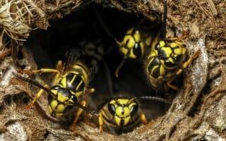 Destruction de nid de Guêpes et Frelons à Essert