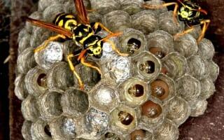 Destruction de nid de Guêpes et Frelons à Montbéliard