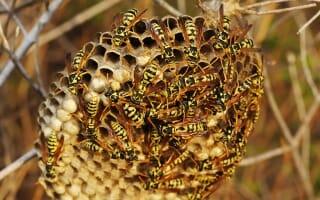 Destruction nid de guêpes et frelons colmar