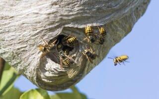 La différence entre la guêpe, le frelon et l'abeille
