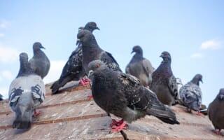 Stop aux pigeons à Nice, Menton, Cannes, Fréjus, Antibes