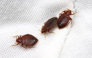 Biologie des Punaises de lit