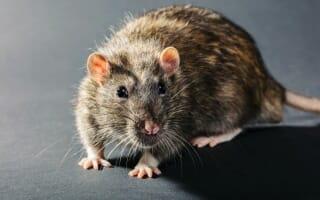 Dératisation des rats et souris Bas-Rhin