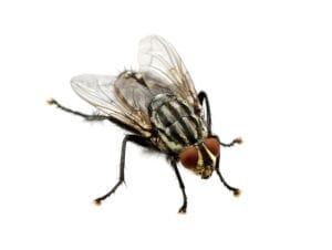 désinsectisation des mouches à Grandvillars
